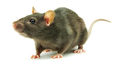 Rodent Control Sydney Pnp Pest Control Phone 1300 296 964